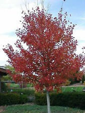 20 RED SUNSET RED MAPLE SEEDS  - Acer rubrum 'Red Sunset'
