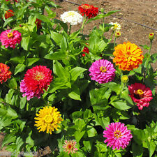 Zinnia California Giants Heirloom Seeds - Non-GMO - Untreated - Open Pollinated!
