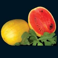 GOLDEN MIDGET WATERMELON 20 SEEDS GREAT LITTLE MELON TASTY AND FITS IN FRIDGE
