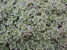 CLIFF STONECROP * Sedum glaucophyllum * HARDY GROUNDCOVER * EASY * SEEDS