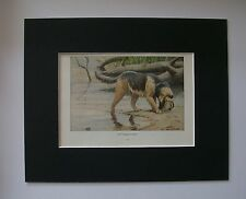 Otterhound Dog Print Louis Fuertes Colored Bookplate 1919 Matted 8x10