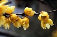 20 seeds Fragrant Wintersweet Shrub Chimonanthus praecox  Seeds