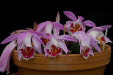 Near Hardy Orchid - Pleione Wharfedale Pine Warbler lot 1, Flowering Size Large