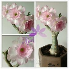 2 Heirloom Light Pink Adenium Obesum Desert Rose Seeds