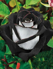 Rare White Black Rose Seeds Plants Potted Rose Flower Seeds 200 pcs / lot