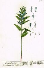 "Blackwell's Wild Flower - ""SCUTELLARIA"" - H-Col. Copper Engraving - 1737"