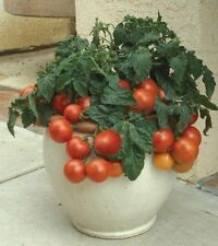 Tomato  Tiny Tim - ORGANIC Dwarf - 50 Seeds, Heirloom NON-GMO Sweet Mini