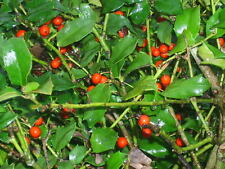 20 CHINA GIRL HOLLY SEEDS - ILEX MESERVEAE