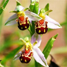 FD3634 Rare!! Seeds Flower Smile Face Bee Orchid Flower Seeds Free Ship 10PCs♫