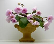 Rose Garden hoja/Leaf usambaraveilchen African Violet Saintpaulia