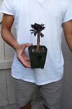 Aeonium Black Rose Succulent Plant -B