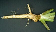 Very Old Variety of a Hierloom  Horseradish Roots for planting or  Pesach.