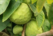 Soursop Annona Cherimola Cherimoya - Lots of nutrients, vitamins, antioxidants!