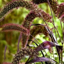Foxtail Millet Red Jewel Ornamental Grass Seeds (Setaria italica) 35+Seeds