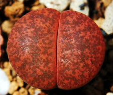 Lithops lesliei Warrenton, living stone rock stone cactus cacti seed 30 SEEDS