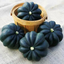 "35+ HEIRLOOM SQUASH SEEDS - WINTER SQUASH ""ACORN TABLE QUEEN"" NON-GMO SQUASH"