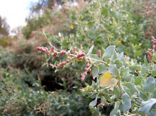 Old Man Saltbush 'de Koch' Stock Fodder Drought & Frost Tolerant Bulk Seed 250gm