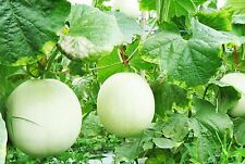 200 Thai Very Sweet White Cantaloupe Seeds,Organic Melon Fresh Fruit Delicious