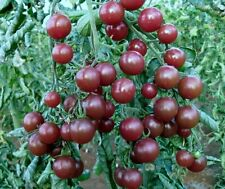 BLACK CHERRY TOMATO (NEW HYBRID)  30+ RARE SEEDS