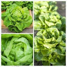 2000 Butter Lettuce Seeds Grow Organically Fall Vegetable Gardening 3