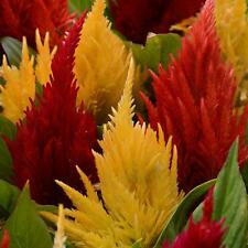 Sumar Flower seeds - First Flame Mixture Celosia - Pack of 15 seed