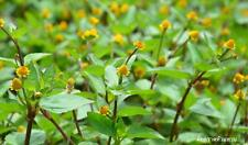 100 SEED TOOTHACHE PLANT Acmella oleracea  ELECTRIC DAISY  PARACRESS