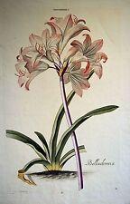 BELLADONNA (Lilie) Amaryllis- wunderschöner kolor.  Kupferstich 1750 - Original!