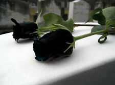 100 Seeds Fresh Hot Black China Rare Rose Beautiful Flower Seed To Your Lover