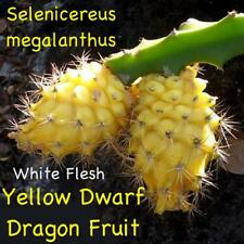 ~YELLOW DWARF~ DRAGON FRUIT Selenicereus megalanthus Pitaya USA!seller 100 SEEDS