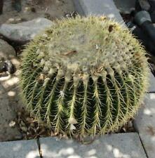 GOLDEN BARREL CACTUS (ECHINOCACTUS GRUSONII) 20 SEEDS