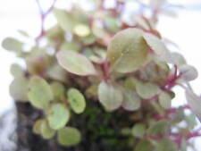 Lobelia MINI live aquarium plants carpet moss