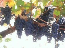 CABERNET SAUVIGNON WINE GRAPE OF NAPA VALLEY, CA -  2 two-year-old vines