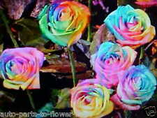 LG. ENCHANTED DAY DREAM  ROSE FLOWER SEEDS  This is a  U.S.A. TEXAS SHIPPED item