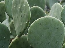 3 Pads Texas Spineless Prickly Pear Cactus VERY Hardy Opuntia Cacanapa Ellisiana
