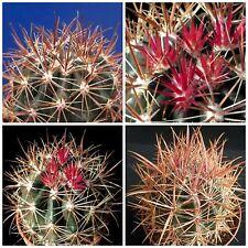 10 semi di Ferocactus viridescens var. littoralis ,piante grasse,seed cactus