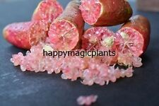 """Finger Lime fruit Citrus australastica exotic Grafted tall 50cm. """"Pink Ice"""""""