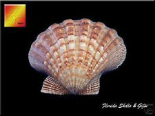 """Large Lions Paw Scallop 5-6"""" Seashell for Baking Smudging Crafts Beach Decor"""