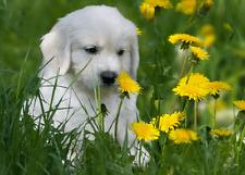 3 -D - Ansichtskarte: Golden Retriever - Welpe - Golden retriever puppy