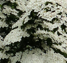 Japanischer Blumen Hartriegel Schmetterling 80-100cm - Cornus kousa