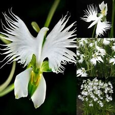 Japanese Radiata White Dove Egret Orchid 50 Seeds Beautiful Bird Shape Flower