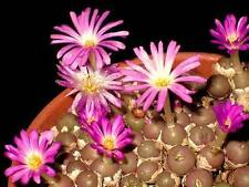 Conophytum brunneum, rare mesemb exotic succulents seed living stones  50 SEEDS