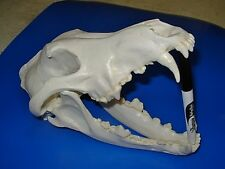 "Genuine -  ""Canis Lupus"" Skull  -""2nd"" -  Antler  Skeleton Trap Mount Hunt Bone"