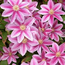Clematis - Dr Ruppel - seeds