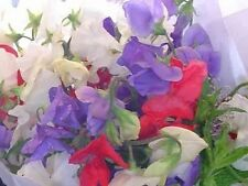 Sweet Pea Royal Mix 25 Seeds  Garden Seeds 2u