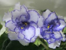 African Violet Pat Tracey (P. Tracey) plant