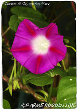 "Ipomoea Nil ""giapponese Morning Glory' 45+ Semi"