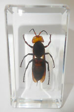 Asian Giant Tiger Hornet (Vespa Mandarinia) Clear - Education Insect Specimen