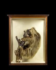 TAXIDERMY THREE-TOED SLOTH stuffed taxidermie antique victorian