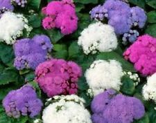 Ageratum (Ageratum Mexicanum)- Mix Colors - 100 seeds