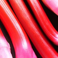 RHUBARB - VICTORIA - 400 Seeds [..mid-late season - long and thick red sticks!]